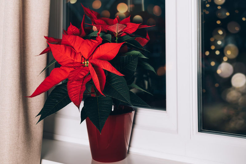 Christmas poinsettia in ceramic pot. christmas traditional red flower on the window