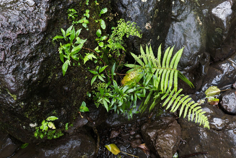 Beauty In Nature Close-up Fern Forest Freshness Green Color Growth Leaf Lush Foliage Moss Nature Outdoors Plant Rainforest Riverside Rock Rocks Shoot Wet Wet Rocks