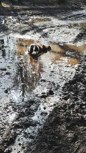 Mud Bath Border Collie Puddle Mud Dry Day ! Walkies Countryside WoodLand Relaxing Simple Things Pets