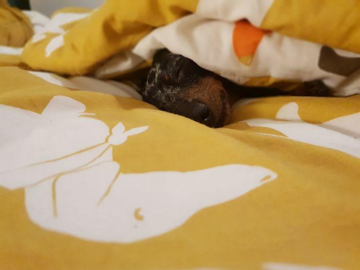 oh weenie. you melt my heart. Dogs Of EyeEm Dog Teckel Dackel Weiner-Dog Weeniedog Dachshund Tired Dessert Close-up