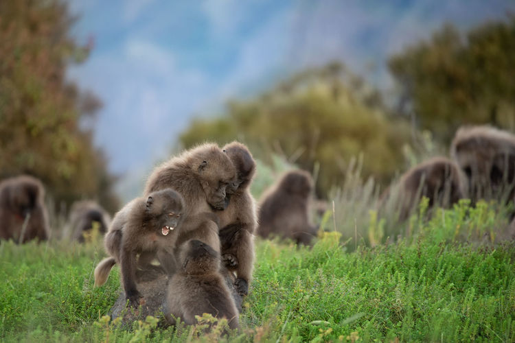 Gelada monkey babies playing in simien mountains in ethiopia