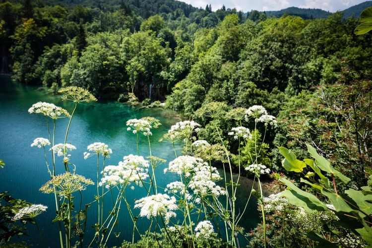 Plitvice lake Plant Growth Beauty In Nature Tranquility Water Tree Nature Flower Lake Scenics - Nature Flowering Plant Sunlight Outdoors