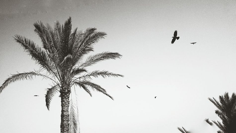 Crows in the trees. Palm Trees White Album Blackandwhite Whitespace Mobilephotography Eye4photography  Minimalism Nature The Moment Monochrome