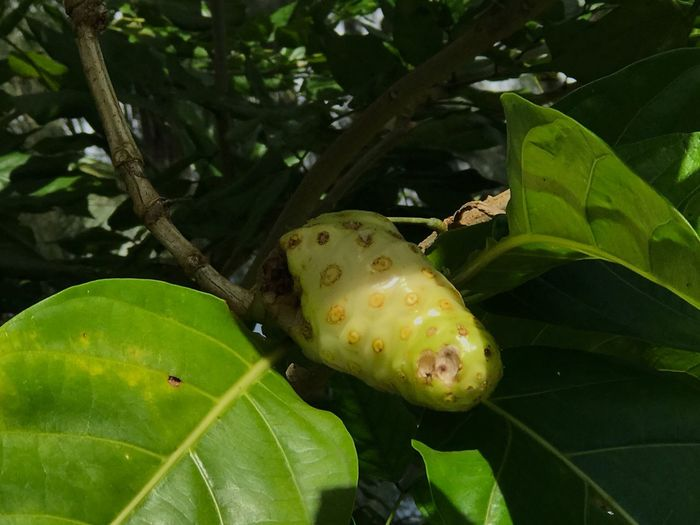 Noni plant - Noni fruit - Tahiti - Végétation - Green vegetation - leaves - yellow - nature
