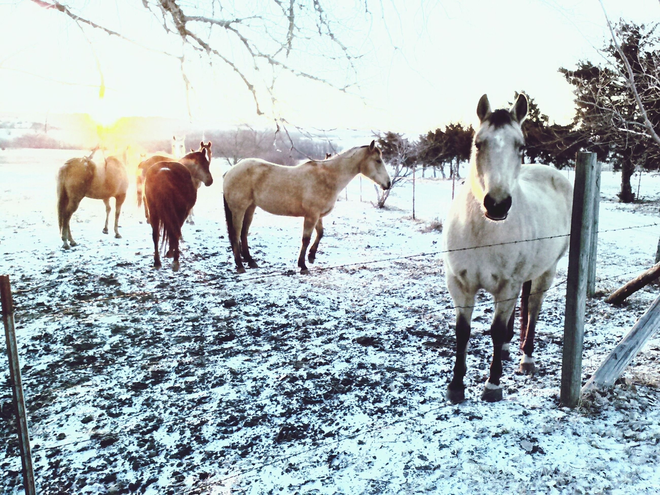 winter, snow, animal themes, cold temperature, domestic animals, season, livestock, white color, weather, tree, field, nature, mammal, horse, standing, landscape, covering, medium group of animals, herbivorous