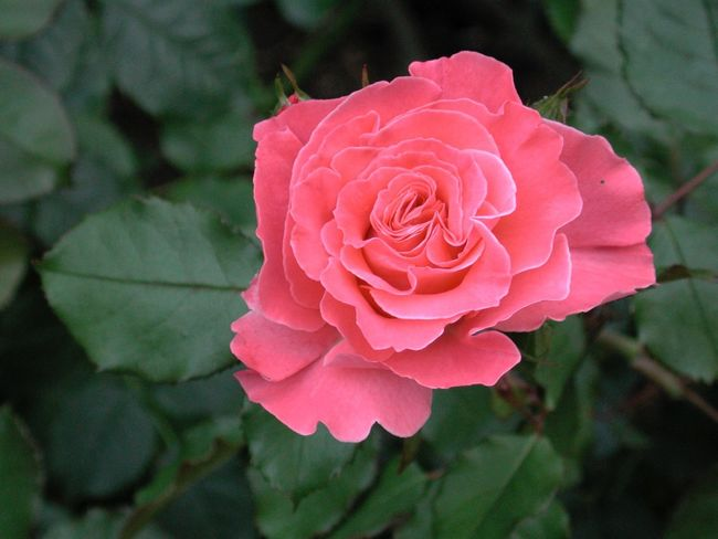 Beauty In Nature Blooming Close-up Flower Flower Head Focus On Foreground Fragility Freshness Growth In Bloom Leaf Nature Petal Pink Color Plant R.tullis Red Rosé Rose - Flower Single Flower Single Rose