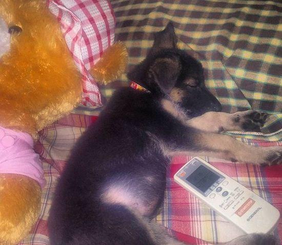 Jacky Sleeping After Having Heavymeal Germanshepherdlovers Cute Puppy
