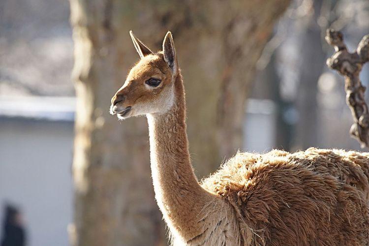 Close-Up Of Lama At Zoo