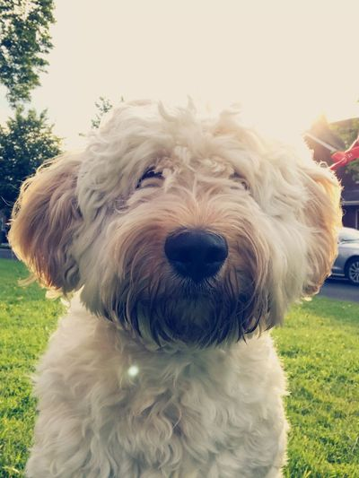 Dog Pets One Animal Domestic Animals Animal Themes Animal Hair Portrait Looking At Camera Poodle Close-up Grass Mammal No People Day Outdoors West Highland White Terrier Nature Sky Pablo the Labradoodle Labradoodle Pet Portraits