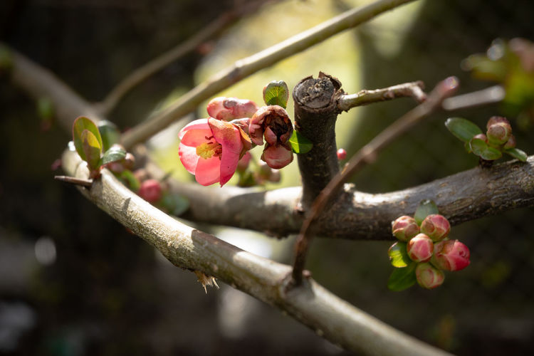 Close-up of pink flower buds on branch