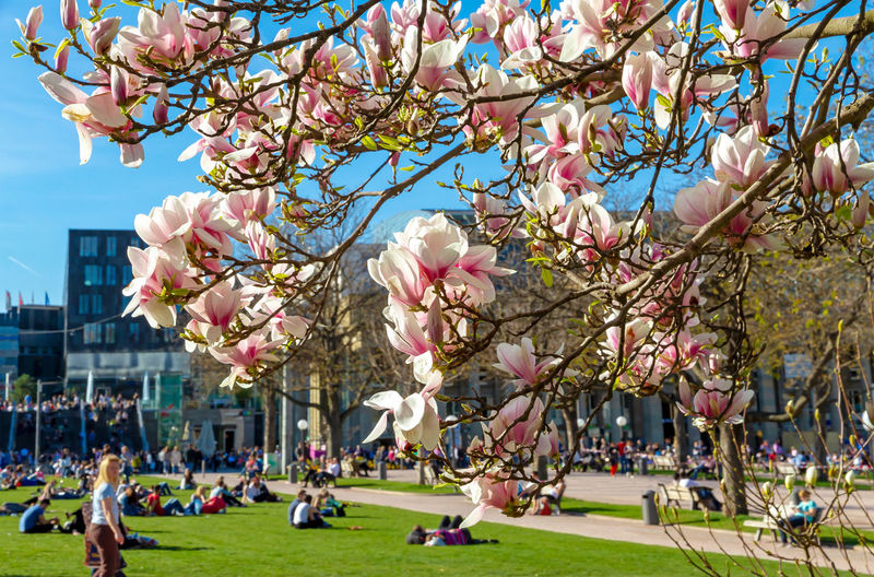 Magnolia blossom in Stuttgart, Germany Tree Plant Flower Nature Branch Growth Blossom Beauty In Nature Springtime Magnolia Magnolia Tree Magnolia_Blossom Stuttgart Germany Baden-Württemberg  Nature City People Beautiful April Season  Travel Tourism Town Leisure Activity