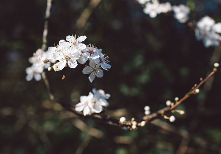 Flower Flowering Plant Plant Freshness Fragility Beauty In Nature Growth Vulnerability  White Color Close-up Blossom Tree Springtime Focus On Foreground Nature Petal Branch Day Twig No People Cherry Blossom Outdoors Flower Head Cherry Tree Pollen Springtime Decadence