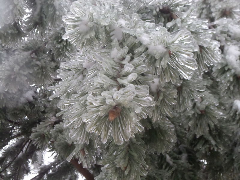 Beauty In Nature Branch Close-up Cold Temperature Day Flower Flower Head Fragility Freshness Frozen Growth Ice Nature No People Outdoors Pine Tree Winter