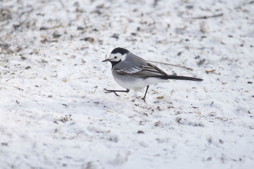 A wagtail runs freezing through the snow at a feeding place in the forest looking for food Animal Themes Animal Wildlife Animals In The Wild Bird Close-up Day Nature No People One Animal Outdoors Perching Sparrow