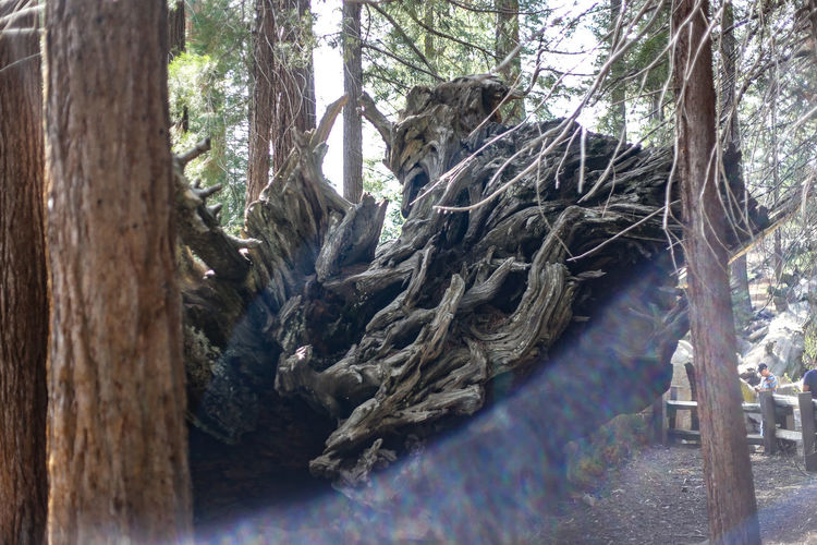 Sequoianationalpark California Sequoia Nature Travel Giantsequoia Sequoiatrees Sequoias Sequoianationalforest SequoiaPark Nationalpark Sequoiagrove Sequoiatree Sequoiaforest Sequoiakingsnps Sequoiaandkingscanyonnationalparks Naturephotography Kingscanyonnationalpark Trees Mountains USA Roadtrip Hiking Tree Branch Water Tree Trunk Forest Dead Tree Fallen Tree