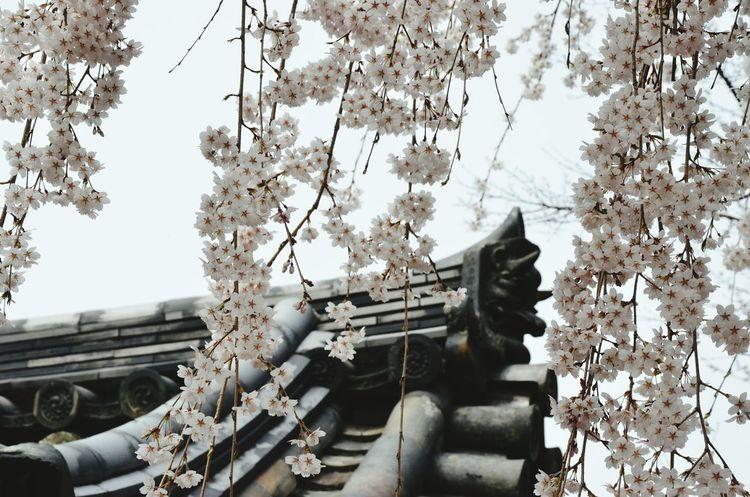 Urban Spring Fever Sakura Hanami Spring Into Spring Nature Hugging A Tree Japanese Culture Architecture Hanami Sakura  Cherry Blossoms Ultimate Japan