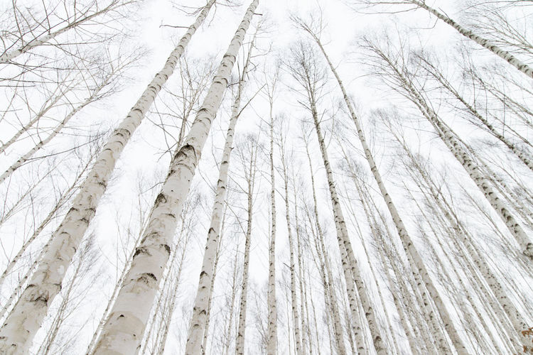 Low Angle View Of Pine Trees In Forest During Winter