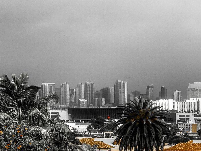 San Diego Palm