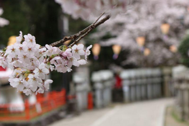 Spring Cherry