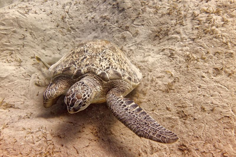 Turtle Diving Turtle Animal Themes Animals In The Wild Animal Wildlife Animal One Animal Sand Reptile