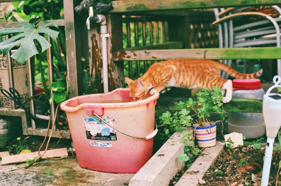 Be. Ready. Domestic Cat Pets Animal Themes Domestic Animals One Animal Potted Plant Cat Mammal Day Feline No People Plant Front Or Back Yard Outdoors Growth Ginger Cat Nature Canon Ae-1
