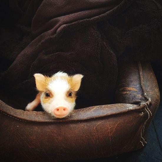 Portrait of piglet in pet bed