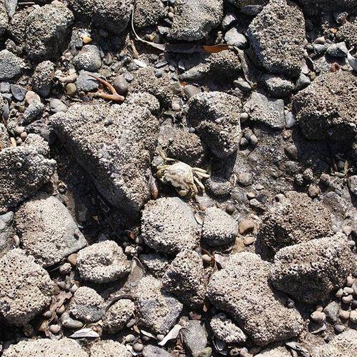 Seabed Crab Biocolonization Lowtide  Rocks Sea Cramond