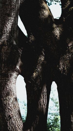 Baum, merkwürdig zusammengewachsen, Obernsee in Bielefeld Beauty In Nature Close-up Day Fuji-xe2s Nature No People Outdoors Sky Tenebrio.photos Tree Tree Tree Trunk Art Zeiss-planar60