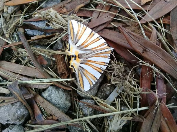 Polilla Animal Themes Mariposa En La Naturaleza Polillas Polilla Diurna Nature Rocas Hojas Secas