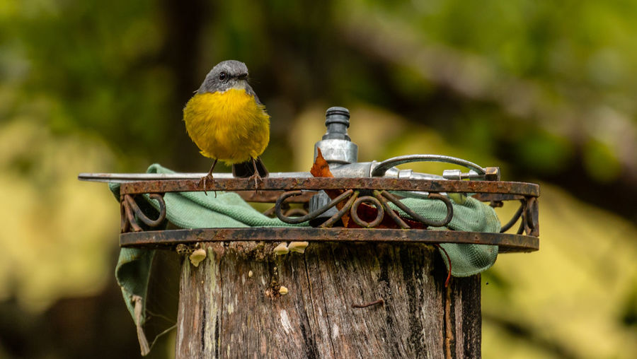 On my throne Eastern Yellow Robin Bird Vertebrate Animal Animal Themes Animal Wildlife Perching Animals In The Wild Focus On Foreground Wood - Material Tree Nature Day No People Yellow Outdoors One Animal Close-up Plant Branch Jason Gines Australian Wildlife Australian Birds