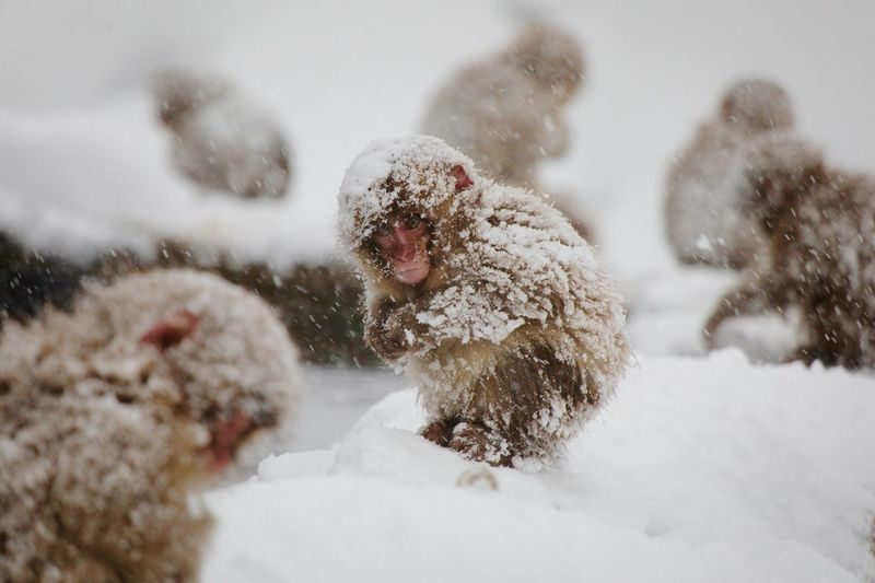 Group Of Japanese Macaques In Snow