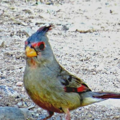 Look who showed up, the Female Pyrrhuloxia...they are also known as the desert Cardinal, here in Tucson, Arizona. Pyrrhuloxia Birds_of_instagram Birdsofinstagram Gregsbackyardbirdies Book Tucson Arizona Udog_feathers Earth_in_bloom Eye_for_earth Foto_fanatics_nature Nature_hippys Nature_brilliance Insta_gram_shooters Great_captures_nature Everything_animals Feather_perfection Natures_lens Nature Desert Yard Beautiful Princely_shotz Seetucson Fantastic gorgeous colors birdtannica stalking_nature