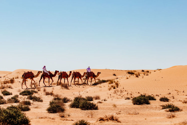 Dubai Dunes Sunlight Travelling Animal Blue Sky Camel Caravan Clear Sky Climate Desert Domestic Animals Environment Group Of Animals Land Landscape Nature No Clouds Outdoors Riding Sand Sand Dune Sky Travel Travel Destinations