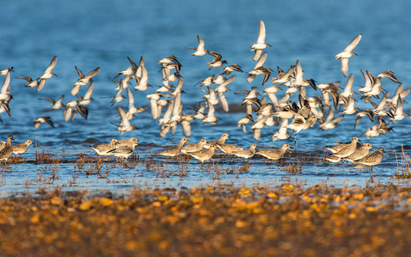 Grey plovers and dunlins in the flight in environment at low tide