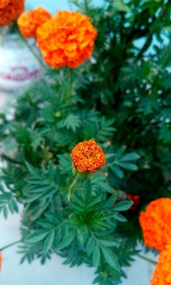Naturelovers Nature_collection Nature Photography Beauty In Nature EyeEm Best Shots EyeEm Nature Lover Evenningtime EyeEm Gallery EyeEm Selects Flower Head Flower Leaf Petal Marigold Close-up Plant Blooming