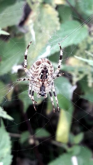 Spider Waiting For Me On My Way Home From Work Not Really My Friends😨 Spider Insect Close-up Focus On Foreground Animal Themes Nature Beauty In Nature For The Love To Life Fragility For My Friends 😍😘🎁 Lucky Me🦄 My Soul's Language Is📷 Simple Beauty Enjoying The View You Raise Me Up✨ Hanging Around