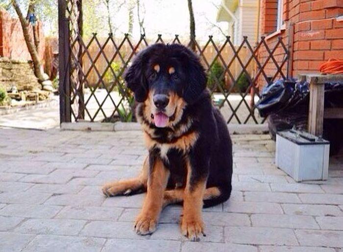 Тибетскиймастиф Dog Green