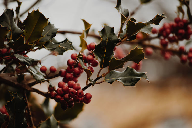 Plants Fruit Healthy Eating Food And Drink Food Berry Fruit Red Growth Plant Freshness Tree Plant Part Day Close-up Nature Leaf Branch Beauty In Nature No People Focus On Foreground Rowanberry Outdoors Plants Berries Vogelbeeren Bokeh