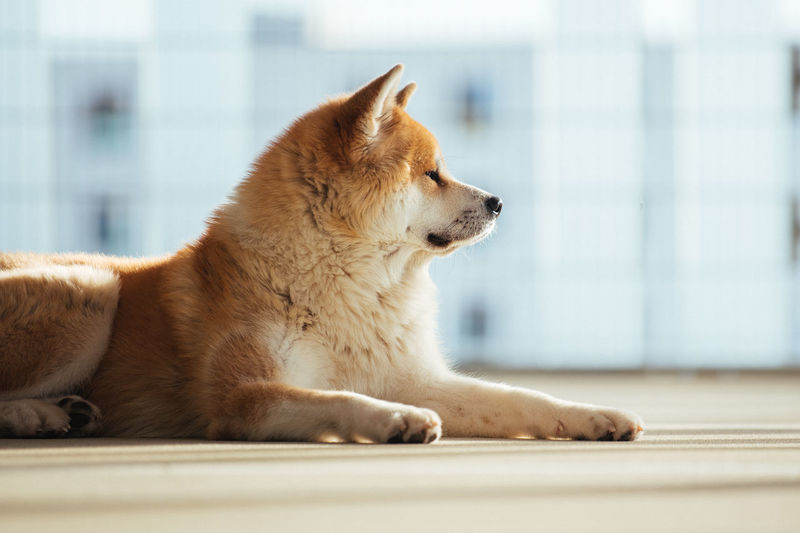 Dog looking away while resting on floor at home