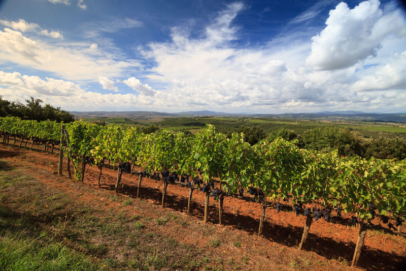 Tuscan vineyard landscape with clouds and blue sky in Montalcino, Italy Autumn colors Country Grape Field Montalcino. Tuscany Agriculture Cloud - Sky Field Italy Landscape Plantation Red Wine Grapes Rural Scene Scenics - Nature Season  Sky Vineyard Winemaking