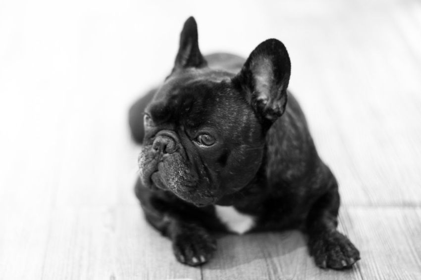 Animal Themes Boston Terrier Close-up Day Dog Domestic Animals French Bulldog Mammal No People One Animal Pets Pug