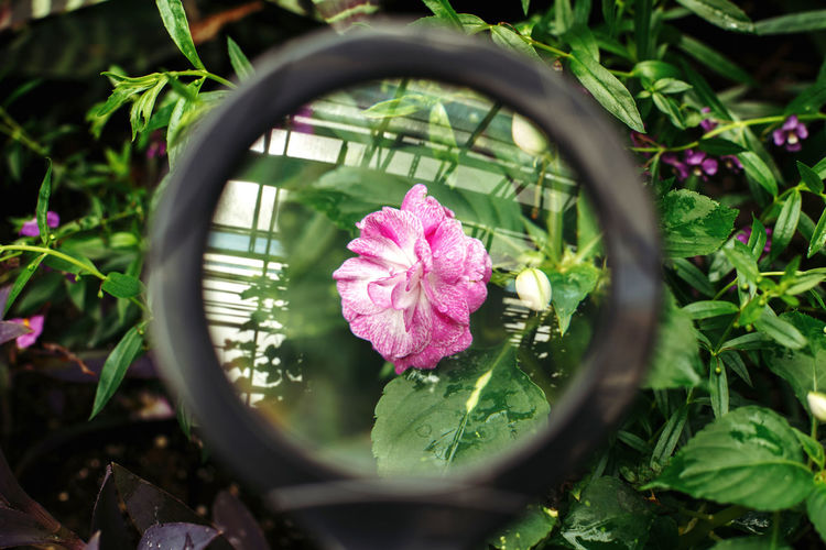 Close-up of pink flower in pot