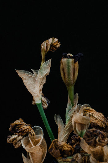 Close-up of wilted plant against black background