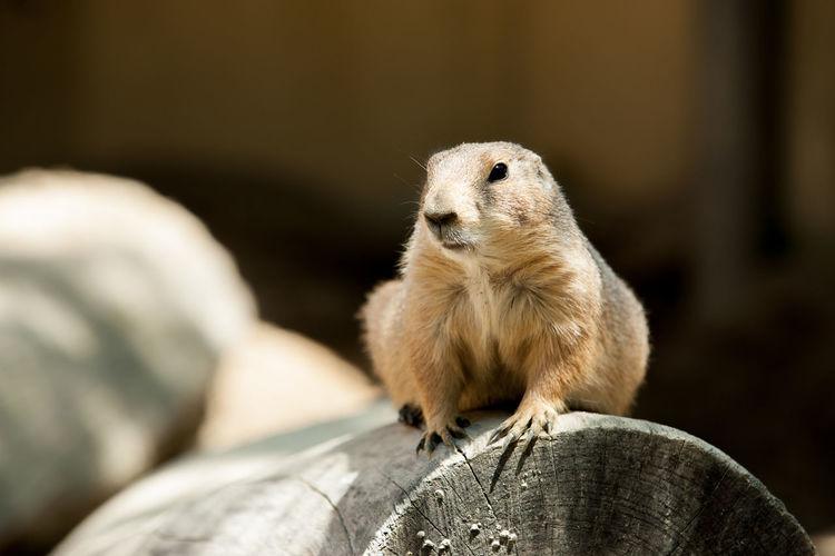 Groundhog Groundhog Day ウッドチャック Animal Animal Themes Day Nature No People One Animal 土撥鼠