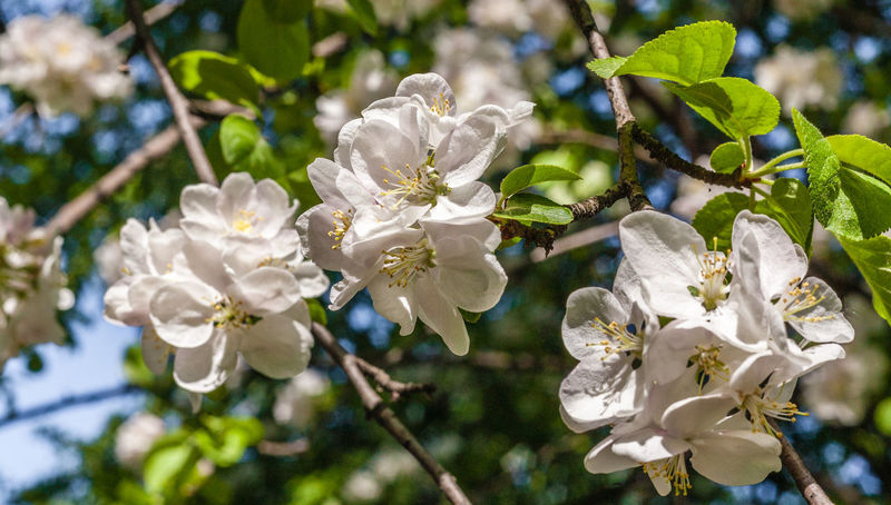 A blooming branch of apple tree in springtime Apricot Natural Sunlight Sunnyday☀️ Apple Blossom Beauty In Nature Blossom Branch Cherry Blossom Close-up Day Flower Head Macro Nature No People Outdoors Petal Plant Spring Springtime Tree Wallpaper White Color