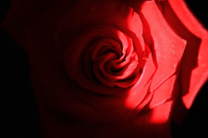 Flower 花 꽃 Rosé Red 장미