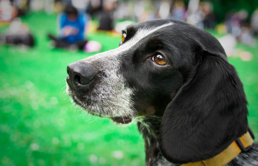 Portrait of a dog Animal Themes Close-up Dog Domestic Animals Focus On Foreground Hajogyari Sziget Mammal Man's Best Friend Mansbestfriend One Animal Outdoors Pets Picknick Time Portrait