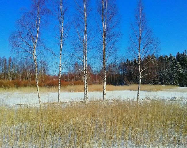 Shining Bright Enjoying The Sun Trees Outdoors Sunny Day Naturelovers Nature Photography Great Outdoors Woods Outdoor Photography Nature Blue Sky Sun Shining Springtime Snow Snowy Landscape Great Day  Birches In Line Colors Canes Straws Field Sea Bay Shades Of Gold