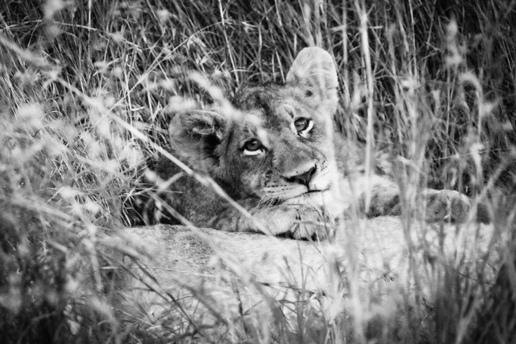 Animal Themes Animals In The Wild Day Grass Lion Lion - Feline Lioness Mammal Nature No People One Animal Outdoors Portrait Relaxation Wildlife