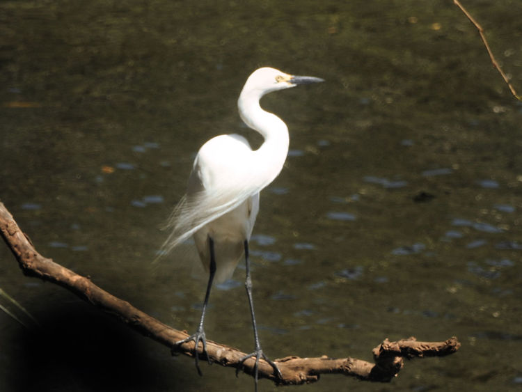 Great Egret Animal Themes Animal Wildlife Animals In The Wild Beauty In Nature Bird Close-up Crane - Bird Day Great Egret Lake Nature No People One Animal Outdoors Perching Tree Water Visual Creativity